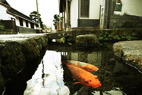 Không thể tin được, đàn cá chép lại có thể sinh sống trong một rãnh nước thải tại Nhật Bản! - Ảnh 2.