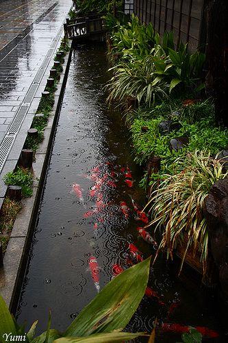 Không thể tin được, đàn cá chép lại có thể sinh sống trong một rãnh nước thải tại Nhật Bản! - Ảnh 3.