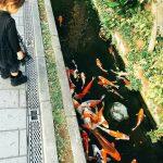 Đàn cá chép sinh sống trong một rãnh nước thải tại Nhật Bản!