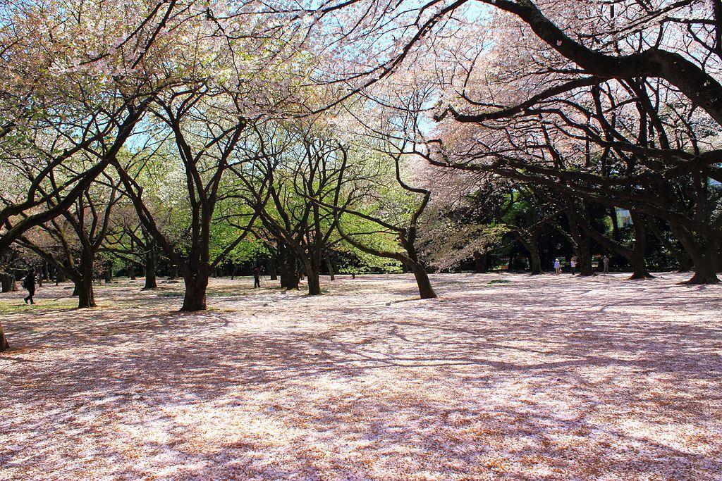 1024px-Shinjuku_Gyoen_National_Garden_-_sakura_2
