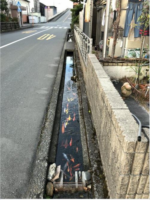 Không thể tin được, đàn cá chép lại có thể sinh sống trong một rãnh nước thải tại Nhật Bản! - Ảnh 1.