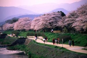 Mùa hoa anh đào ở Kyoto